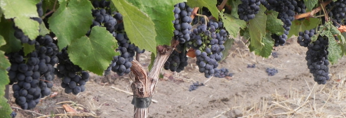 Yakima Valley Grapes